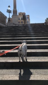 A dog walking on the Spanish steps of empty Rome because of the Coronavirus COVID-19 lock down